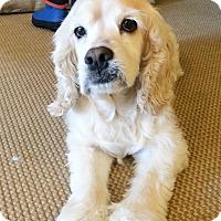 Adopt A Pet :: Sugar - Needs to Find A Home! - Kannapolis, NC