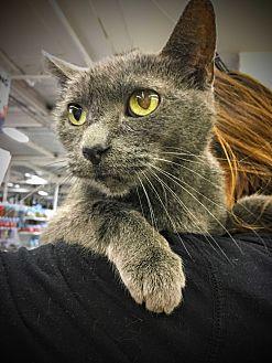Russian Blue Cat for adoption in Marina del Rey, California - Ashley