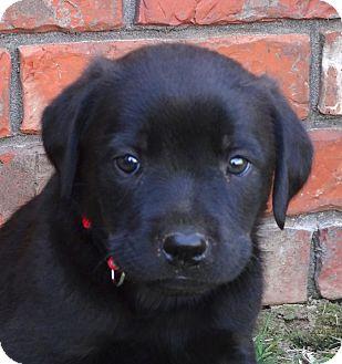 Labrador Retriever/Rottweiler Mix Puppy for adoption in Westport, Connecticut - *Landon - PENDING