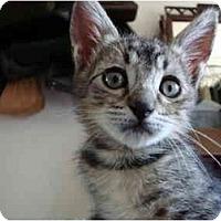 Adopt A Pet :: Stealth - Davis, CA