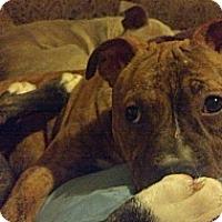 Adopt A Pet :: Vivenne - nashville, TN