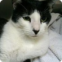 Domestic Shorthair Cat for adoption in Miami, Florida - Connan