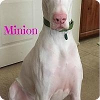 Adopt A Pet :: Minion - Mesa, AZ