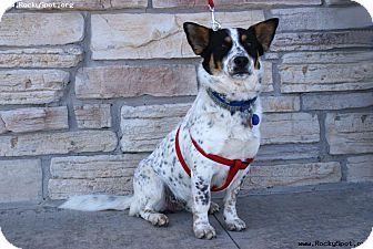 Australian Cattle Dog/Corgi Mix Dog for adoption in Newcastle, Oklahoma - Jeffie