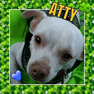 Chihuahua/Cairn Terrier Mix Dog for adoption in Scottsdale, Arizona - Atty