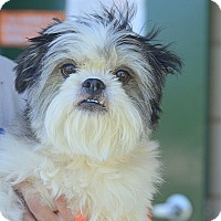 Adopt A Pet :: Gizmo - San Leon, TX