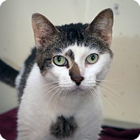 Domestic Shorthair Cat for adoption in Anderson, Indiana - Kilgore