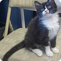 Adopt A Pet :: Bangs - Manning, SC