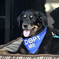 Rottweiler Dog for adoption in Irvine, California - Mesa