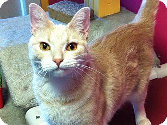 Domestic Shorthair Cat for adoption in Topeka, Kansas - Goldilocks