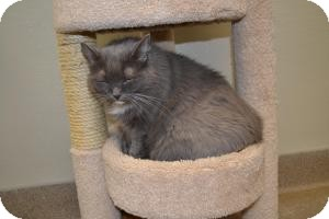 Domestic Mediumhair Cat for adoption in Gilbert, Arizona - Miss Kitty