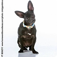 Chihuahua Mix Dog for adoption in McKinney, Texas - Bogey