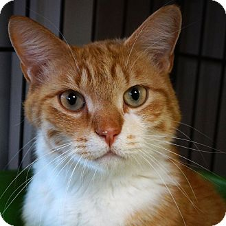 Domestic Shorthair Cat for adoption in Naperville, Illinois - Hobbs