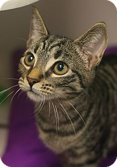 Domestic Shorthair Kitten for adoption in Staunton, Virginia - Kit Kat