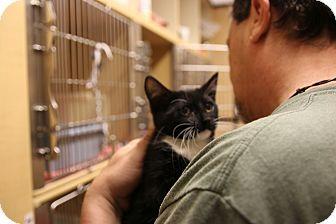 Domestic Shorthair Kitten for adoption in Rochester, Minnesota - Pavarotti