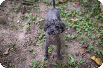 Poodle (Miniature) Mix Dog for adoption in Manhattan, Kansas - Mr. Magoo