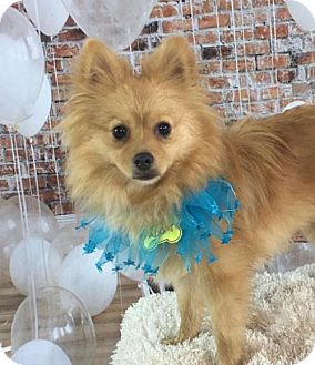 Pomeranian Puppy for adoption in Dallas, Texas - Reilly