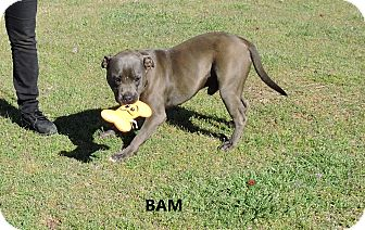 American Pit Bull Terrier Mix Dog for adoption in Washington, Georgia - Bam