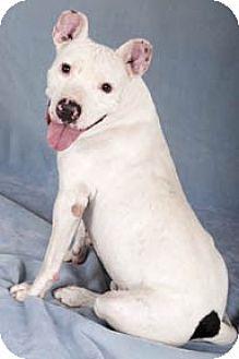 Dogo Argentino/Pit Bull Terrier Mix Dog for adoption in Chicago, Illinois - Dawson