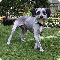 Adopt A Pet :: WEBSTER - Newport Beach, CA