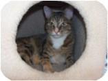 Domestic Shorthair Cat for adoption in El Cajon, California - Parmesan