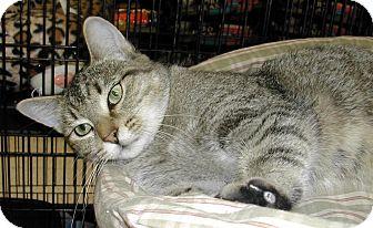 Domestic Shorthair Cat for adoption in Bear, Delaware - Leona