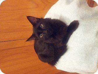 Domestic Longhair Kitten for adoption in Chandler, Arizona - Skittles