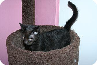Domestic Shorthair Kitten for adoption in Santa Rosa, California - Otis