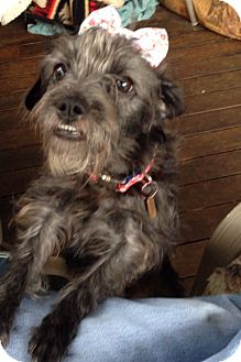 Terrier (Unknown Type, Small) Mix Dog for adoption in Sheridan, Oregon - Lucie