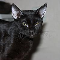 Adopt A Pet :: Cuddles - Mesa, AZ