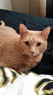 Domestic Shorthair Cat for adoption in New City, New York - Peaches