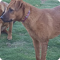Pointer/Shepherd (Unknown Type) Mix Dog for adoption in Las Cruces, New Mexico - Kylee
