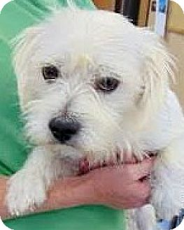 Lhasa Apso/Cairn Terrier Mix Dog for adoption in Boulder, Colorado - Snow-ADOPTION PENDING