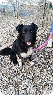 Collie Mix Dog for adoption in Berea, Ohio - Deven