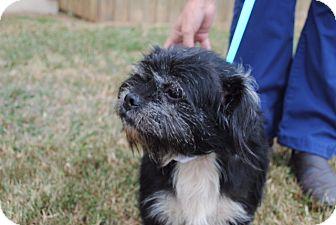 Shih Tzu/Schnauzer (Miniature) Mix Dog for adoption in Washington, D.C. - Eli  (ETAA)