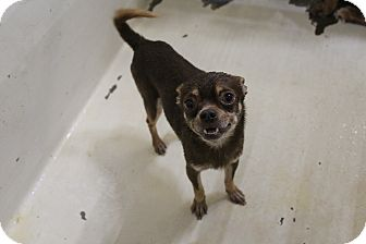 Chihuahua Mix Dog for adoption in Odessa, Texas - A22 Sunny