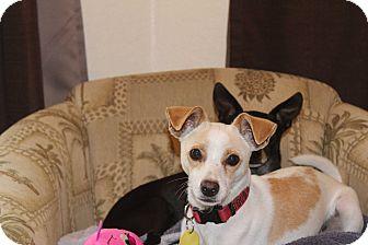 Fox Terrier (Smooth)/Italian Greyhound Mix Dog for adoption in Weeki Wachee, Florida - Sparky