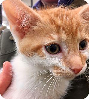 Domestic Shorthair Kitten for adoption in Warren, Ohio - Two Dots