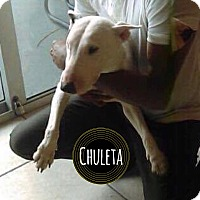 Adopt A Pet :: Chuleta - Lake Worth, FL