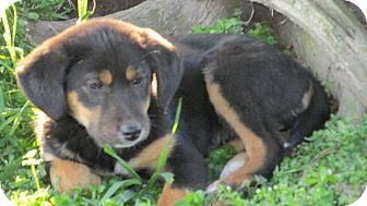 Labrador Retriever/Shepherd (Unknown Type) Mix Puppy for adoption in Franklin, Virginia - Ruby