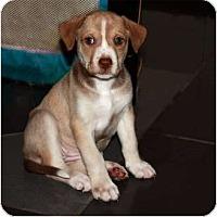 Adopt A Pet :: Girl puppies - Windham, NH