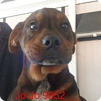 Adopt A Pet :: Jo jo - baltimore, MD