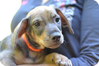 Dachshund/Hound (Unknown Type) Mix Puppy for adoption in Acworth, Georgia - Marble - Cake Litter