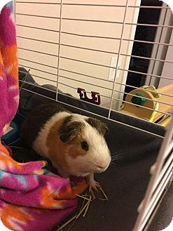 Guinea Pig for adoption in Odessa, Texas - Ace