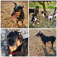 Adopt A Pet :: felix - Fresno, CA