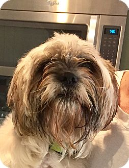 Shih Tzu/Lhasa Apso Mix Dog for adoption in HAGGERSTOWN, Maryland - MURPHY