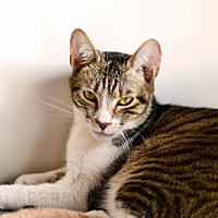 American Shorthair Cat for adoption in Santa Monica, California - Marisa
