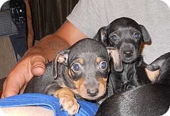 Dachshund/Terrier (Unknown Type, Small) Mix Puppy for adoption in springtown, Texas - Baby boys