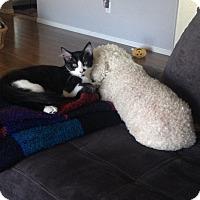 Adopt A Pet :: Shea - Scottsdale, AZ