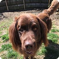 Adopt A Pet :: Ralph - Newtown, CT